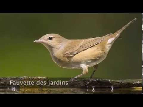 chant fauvette des jardins