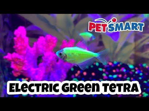 PetSmart - GloFish Electric Green Tetra