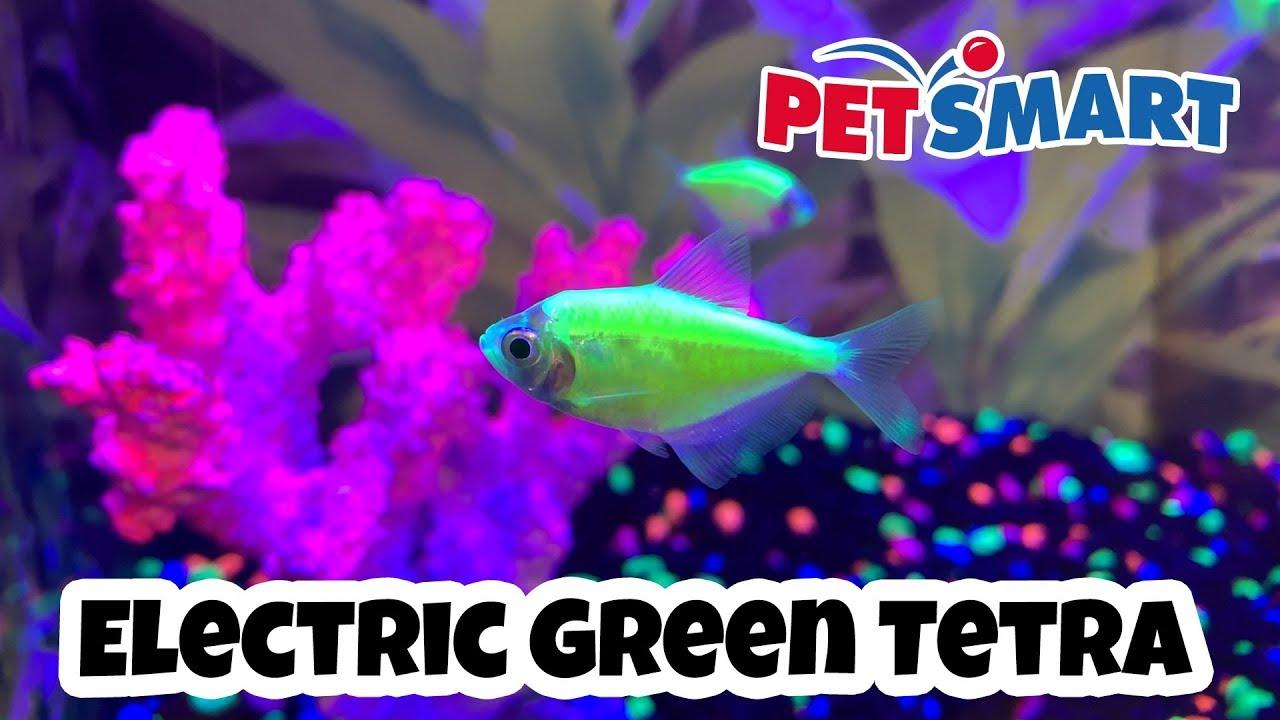 petsmart glofish electric green