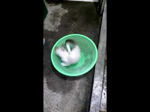 Funny Playing Siamese cat