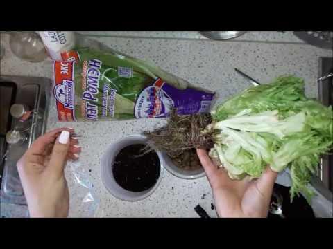 Сажаем салат Фриллис и Ромэн из супермаркета =) Огородик на окошке 21-04-2017