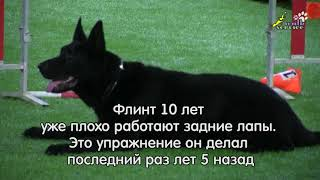 Дрессировка стаи собак, учим восьмёрку назад, обучение, тренировка
