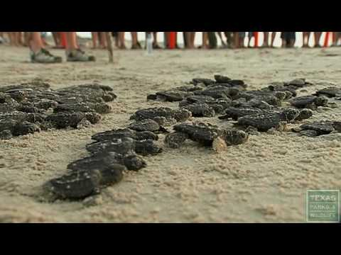 Saving the Kemp's Ridley Sea Turtle - Texas Parks and Wildlife [Official]