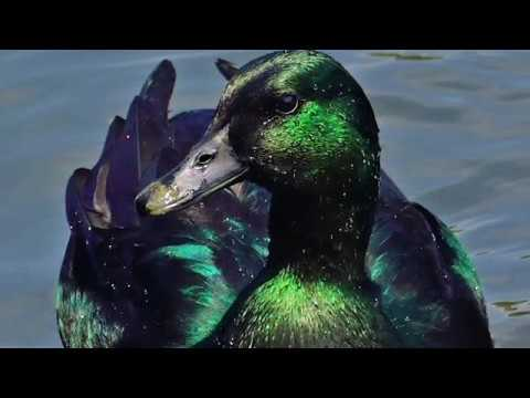 Cayuga Duck | Iridescent Beauty