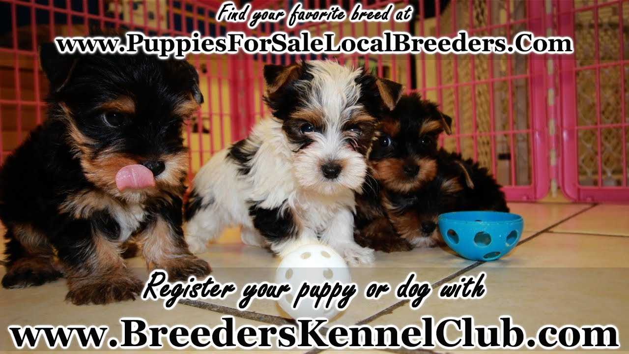 Yorkie Puppies For Sale Georgia Local Breeders Near Atlanta Ga