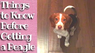 Things to Know Before Getting a Beagle