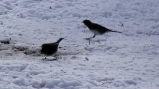Dark-Eyed Juncos and a Goldfinch in Winter plumage