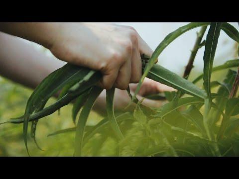 Иван-чай ферментированный: лечебные свойства и