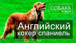 Английский кокер спаниель. Энциклопедия пород собак.