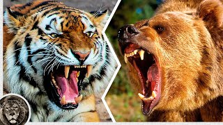 Амурский Тигр против Бурого Медведя / Кто Победит?