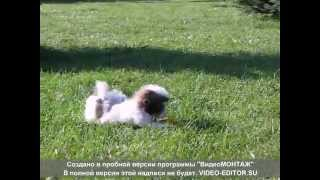 Хризантемовая собачка Ши-Тцу- гламурная игрушка