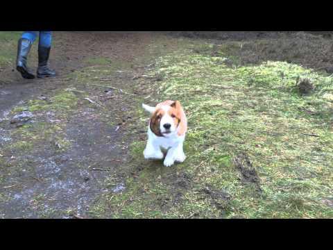 9 weeks old Welsh Springer Spaniel puppy