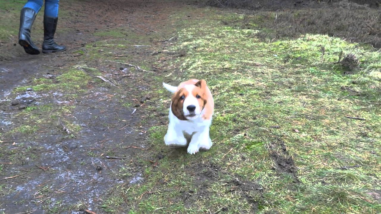 9 Weeks Old Welsh Springer Spaniel Puppy Youtube