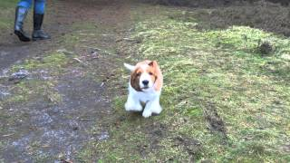 9 Weeks Old Welsh Springer Spaniel Puppy