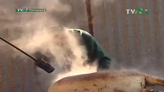 Sarea în bucate: Tăiatul porcului în Banat (@TVR3)