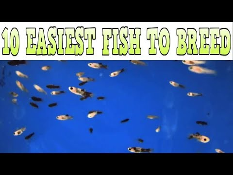 10 Easiest Fish To Breed + Care For