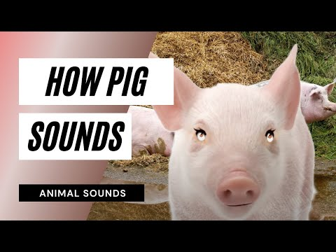 The Animal Sounds: Pig Squeal -  Sound Effect -  Animation