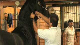 Friesian Horse Grooming Techniques - Wash and Dry