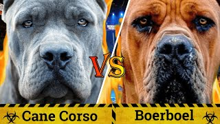Cane Corso vs Boerboel | Boerboel vs Cane Corso | Does Size Really Matter ? | Billa Boyka |