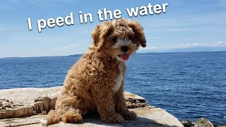 Cavoodle Puppy Learns How To Swim