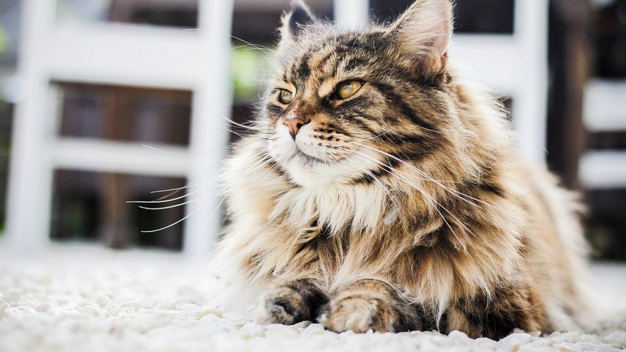 How to Groom a Persian Cat Taking Care of Cats