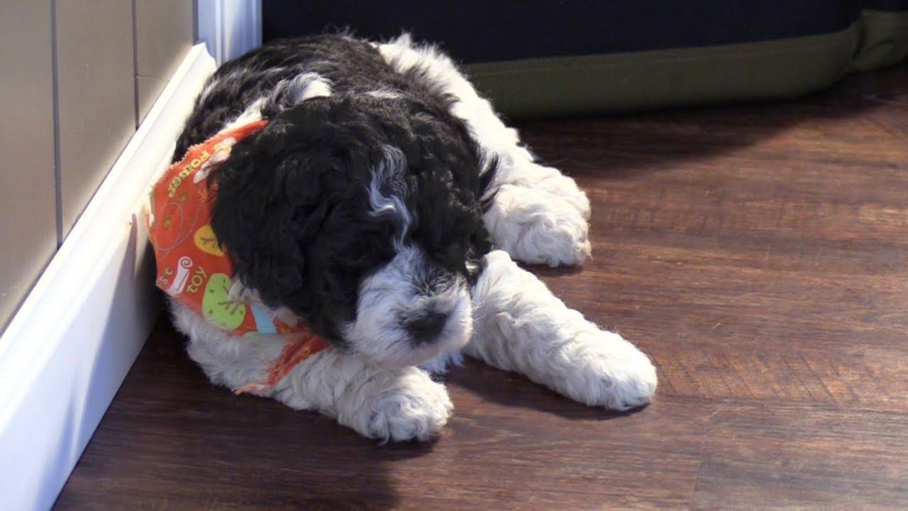 Kinzies F1b Mini Bernedoodle Puppies On 12202018
