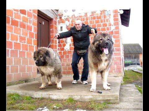 BIG DOGS - Grizli . Caucasian Shepherd , 97 kg - 89 cm ,Tel +491743552582 Tel +385989920061