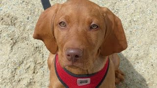 Sophie - Hungarian Vizsla Puppy - 2 Week Residential Dog Training At Adolescent Dogs