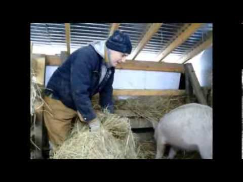 Keeping Pigs Warm In Winter Livestock Bedding Youtube