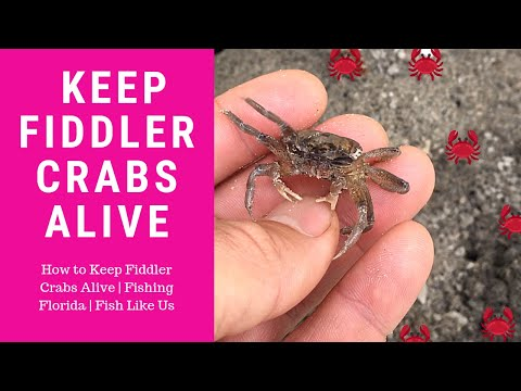 How To Keep Fiddler Crabs Alive   Fishing Florida   Fish Like Us