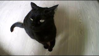 Кошка разговаривает языком жестов.