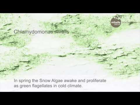 Snow Algae Powder
