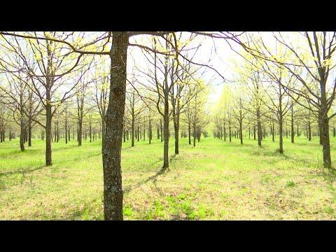 Дубы элитных пород выращивают в Тамбовской области