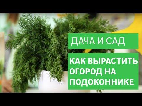 Огород на подоконнике: как вырастить укроп и петрушку [Leroy Merlin]