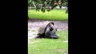 Galapagos Turtles having sex.  Rare must see!