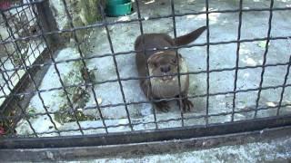 Выдра в Ялтинском зоопарке(, 2011-06-27T20:09:46.000Z)