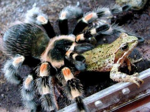 Король пауков - Паук птицеед  _Пауки_