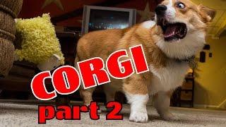 Corgi compilation. Funny and cute. Очаровательные Корги! Милые и смешные!