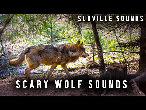 10 Hours of Scary Wolf Howling
