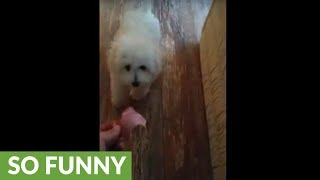 Puppy's first contact with meat leaves her baffled