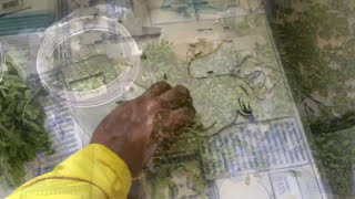 Cutting, drying, and making Moringa Powder