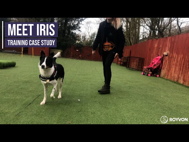 Teaching a Border Collie not to react to movement