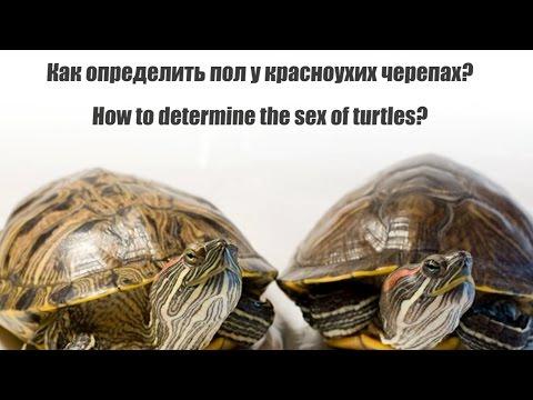 Как узнать что черепаха девочка или мальчик