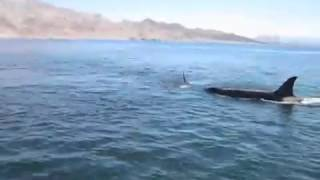 Unsuccessful attempt to save a dolphin, wild orcas killed him just in front of people on the boat
