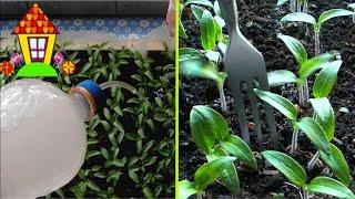 Подкормка рассады томатов. Чем подкормить рассаду