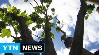 건강식품 원료 황칠나무 재배 확산 / YTN