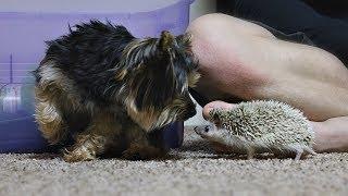 Hedgehog meets Yorkie