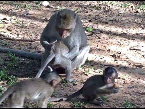 Crazy Adult Monkey Catch Little Baby Monkey Smell Something