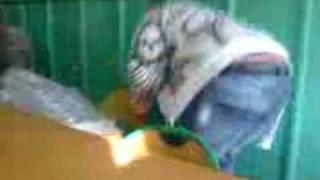 skorpion kontra cepok (piurnik)