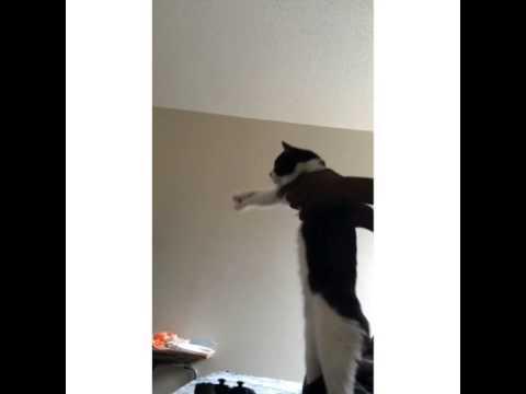 SHMONEY DANCE CAT.